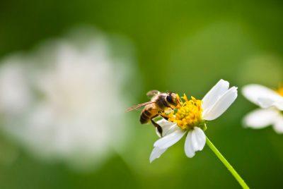 Pierwszy oblot pszczoły